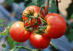 Здоровые плоды томатов