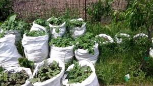 Плантация картофеля в мешочках