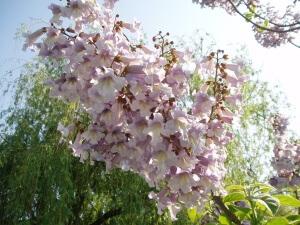 Цветение павлонии