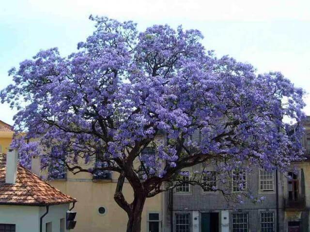 Взрослое дерево Павловнии