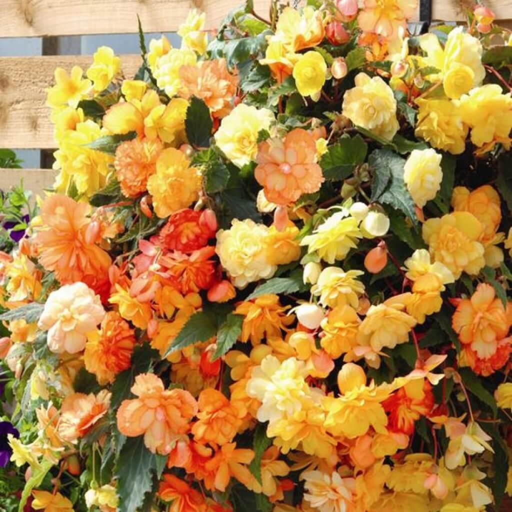 Цветы бегонии садовой фото