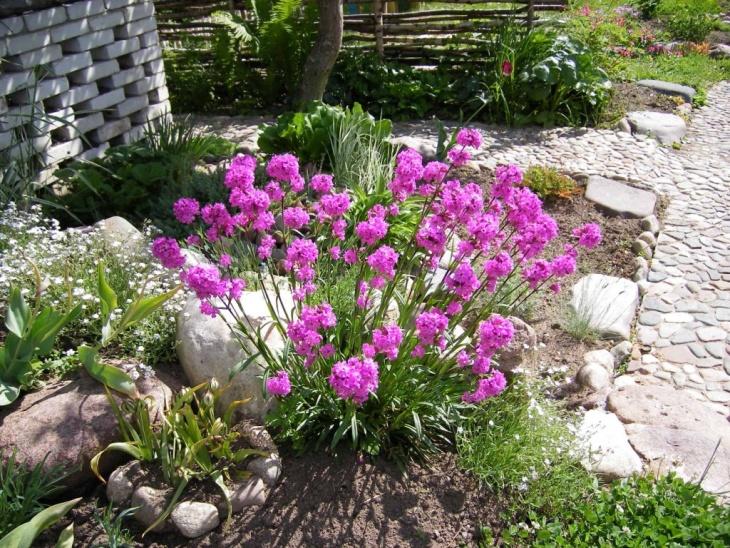 Активное цветение лихниса после удобрения