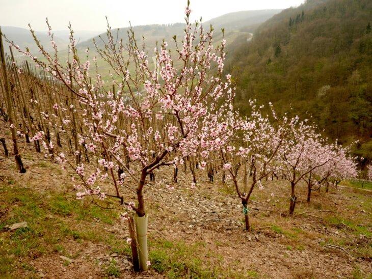 Цветение карликовых деревьев