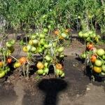 sorta-tomatov-menee-sklonnyh-k-fitoftorozu-1024x768