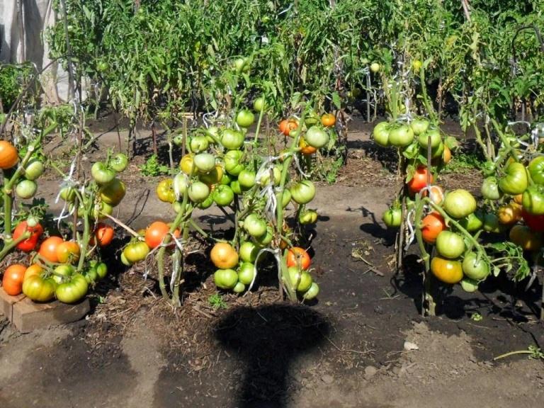 Можно сажать огурцы после помидоров 80