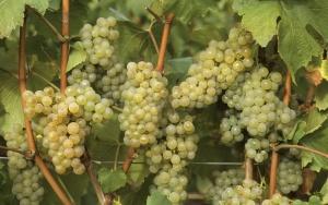 Виноград, привитый в расщеп