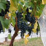 wine_grapes04