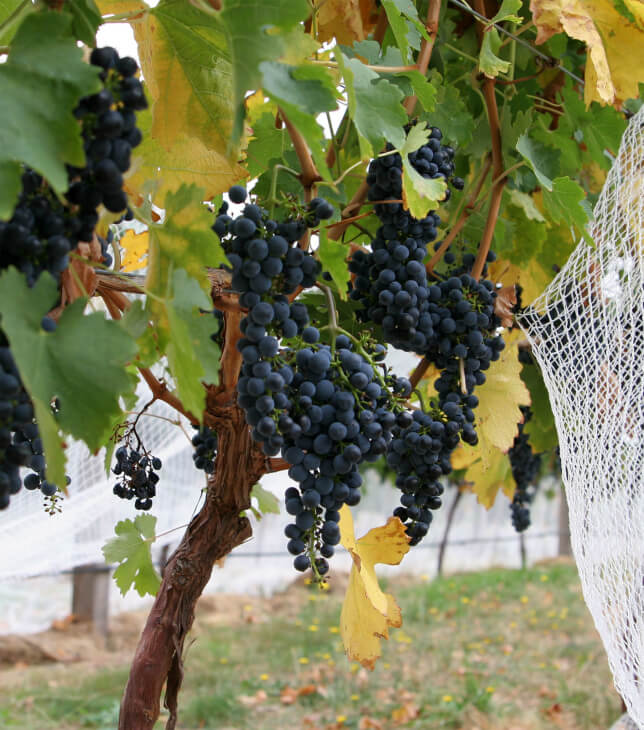 Взрослая лоза винограда