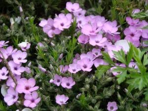 Маленькие цветущие кустики