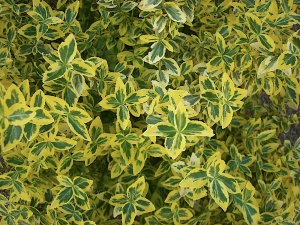 Вид здоровых листочков бересклета