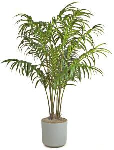 Пальма, выращенная из семян