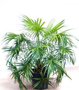 Вид комнатной пальмы благодаря хорошему уходу