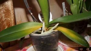 Пожелтевшие листочки орхидеи