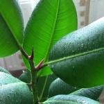 Размножение фикуса каучуконосного: его болезни и вредители