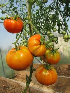 Плодоношение томатов Бычий лоб
