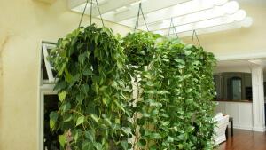 Плетущиеся растения для сада: разновидности и применение