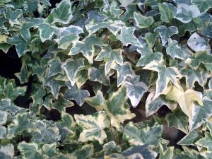 Пышная листва плюща