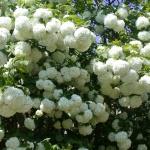 Калина декоративная Бульденеж: особенности сорта и ухода за растением