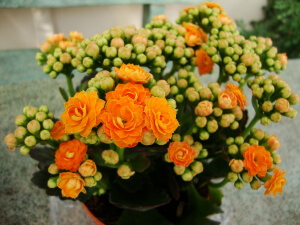 Цветущие чудо - каланхоэ