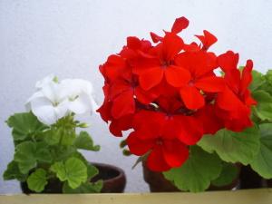 Цветение герани дома
