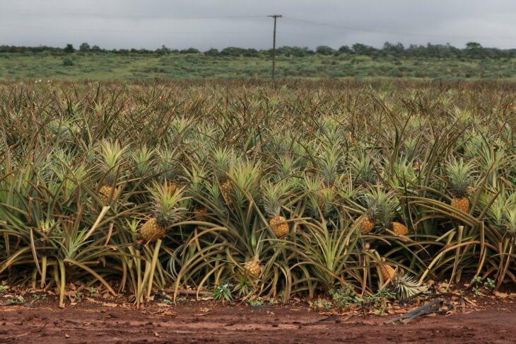 Плоды ананасов