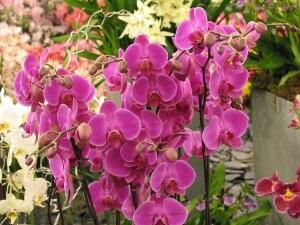 Орхидеи рода Мильтония: правила ухода в домашних условиях для долгого цветения