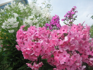 Пышное цветение флокса