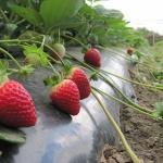 Тепличная клубника на столе круглый год: секреты выращивания