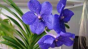 Одна из расцветок Мильтонии