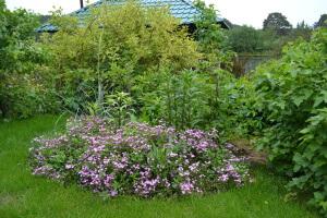 Мыльнянка базиликолистная: размножение и выращивание