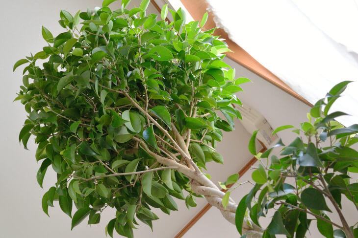 Лат. Ficus benjamina