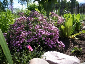 Сочетание мыльнянки с другими растениями