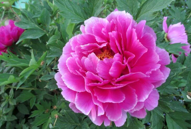 Пик цветения пиона