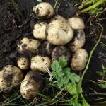 potato-seedling-01