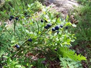 Черника: выращивание в саду, уход и подкормка