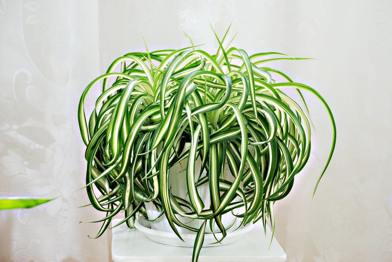 Комнатные цветы хлорофитум