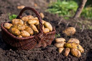 Сбор урожая картофеля в саду