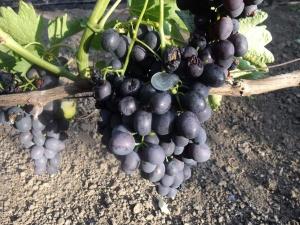 Виноград после удобрения