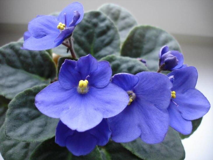 Цветение голубой фиалки