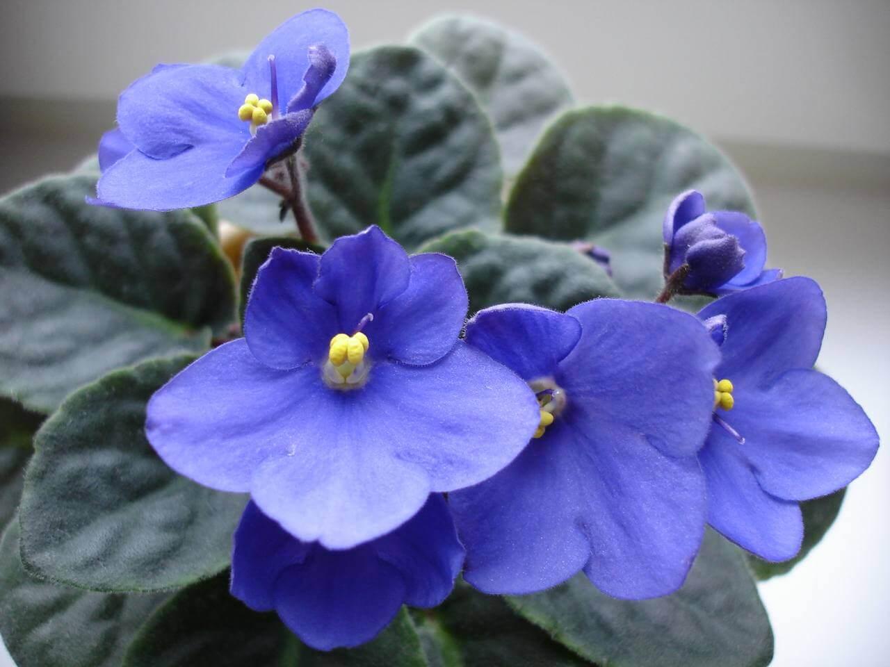 Описание и особенности выращивания фиалки Голубой туман