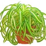 Хлорофитум Бонни: как размножать, выращивать и содержать