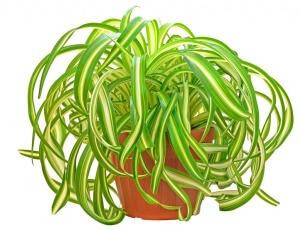 Chlorophytum  'Bonnie'