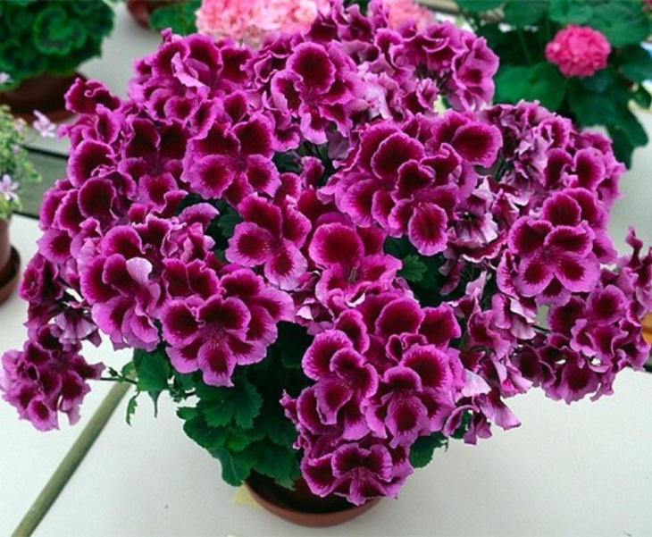 Прекрасное цветение герани