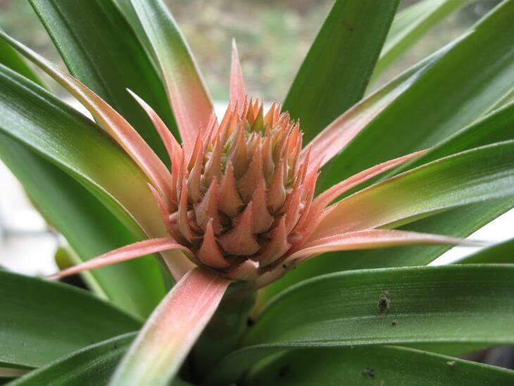 Цветение ананаса