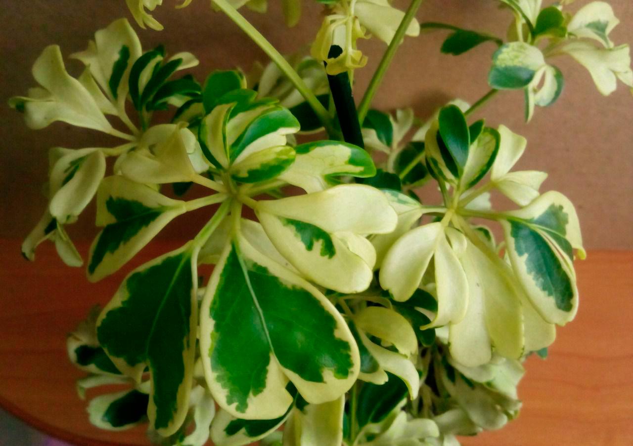 Шефлера цветок уход в домашних условиях пересадка и 18