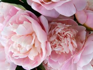 Цветение пиона летом