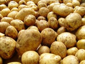 Здоровый урожай картофеля