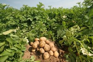 Сбор картофеля в августе