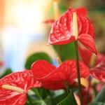 Почему не цветет антуриум: в чем причины и как ухаживать за ним
