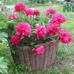 Как вырастить пион из семян и обеспечить правильный уход